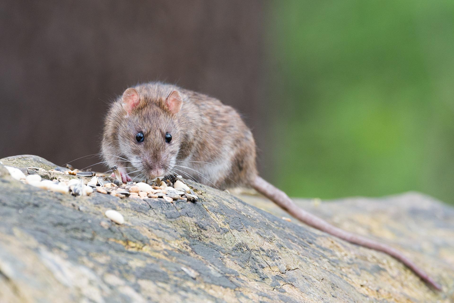 Surmulot ou rat brun comment s 39 en d barrasser produit - Taupes comment s en debarrasser ...