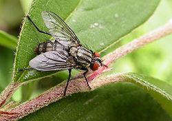mouche grise de la viande identit 233 et produits anti mouche produit antinuisible