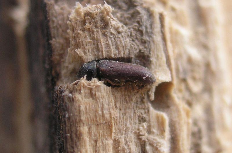 Vrillette du bois infos d g ts traitements produit for Insecte bois meuble